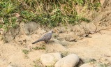 Found a spotted dove as well! :D